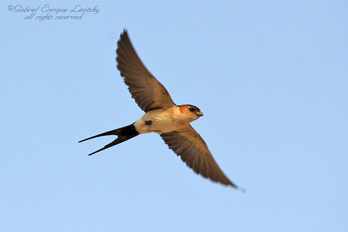 Red Rumped Swallow