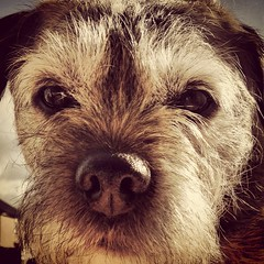 Stan 8 (knype81) Tags: dog borderterrier