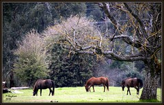 Horses (Martin Bazkiaei) Tags: autumn wallpaper horses black color green art nature beautiful eos martin australia melbourne victoria m iphoto myshot d500 autmn bestshot irani coulor     porepunkah     bazkiaei  martinbazkiaei