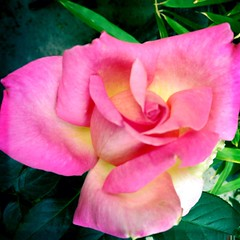 rose bud (paigeh) Tags: flower garden thegarden