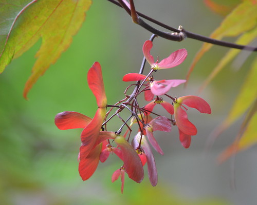 Japanese Maple Seeds
