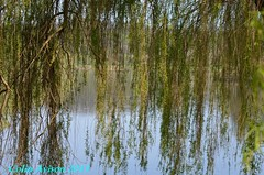WEEPING WILLOW RIVER / WATER SCENE (Colin Avison) Tags: water attenborough naturereserve quarry beeston nottinghamshire wildlifetrust
