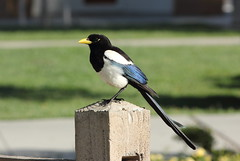 Yellow-billed Magpie (Pica nuttalli). Apr 20, 2013. Camp Roberts Rest Stop off 101. San Luis Obispo Co., CA (rjadams55) Tags: bird pica magpie sanluisobispo yellowbilled corvidae nuttalli