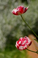 Tulips Carnaval De Nice (haberlea) Tags: flowers red 2 two plants green nature garden spring pair mygarden springtime twoflowers tulipcarnavaldenice