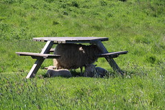 Sheep Pyramid (Munki Munki) Tags: sunshine sheep heat lambs teesside picnictable ewe rspb saltholme