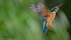 Exit, Stage Right (KHR Images) Tags: wild bird nature water flying droplets inflight suffolk nikon wildlife diving 300mm kingfisher f4 commonkingfisher alcedoatthis riverkingfisher d7100 riverchet kevinrobson khrimages