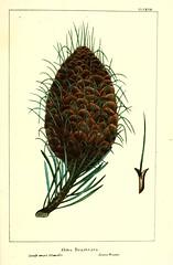 Anglų lietuvių žodynas. Žodis santa lucia fir reiškia santa lucia eglės lietuviškai.