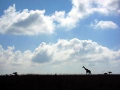 Giraffe in profile (kohsah) Tags: nairobi safari giraffe nairobinationalpark canons95