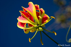 Deceptively Deadly (EarthTouch) Tags: africa plant flower botswana poison gloriosasuperba flamelily glorylily creepinglily