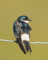 Swallow, Mangrove (Tachycineta albilinea) (kikapookid) Tags: bird birds belize location mangrove swallow animalia passerine perchingbird crookedtreewildlifesanctuary 2013 belizedistrict mar152013