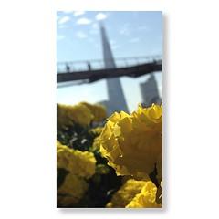 class view (auketts) Tags: bridge flower london nature thames square cityscape dof millenniumbridge squareformat shard marigold cityoflondon theshard iphoneography instagramapp uploaded:by=instagram shardlondon foursquare:venue=4c16438677cea5933c62d360