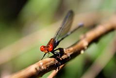 Argia oenea (Greitas) Tags: odonata argia coenagrionidae caballitodeldiablo argiaoenea fieryeyeddancer lula
