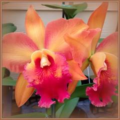 éclatante ! :0) (ℙαґḯṧḯ℮ηηε) Tags: orchid hawaii thursdayflower akatsukaorchidgardens felizquintaflor ilovethisorchidgarden