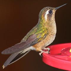 Colibr XXV (Explore) (Jos M. Arboleda) Tags: bird canon eos colombia hummingbird jose ave 5d colibr arboleda markiii trochilidae coconuco apodiforme mygearandme josmarboledac blinkagain ef400mmf56lusm14x troquilinos