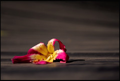 Tired of Being Beautiful (See El Photo) Tags: california ca red 15fav favorite black flower color colour beautiful yellow cali digital canon eos rebel grey still colorful pretty alone colore shadows magenta lonely fav amateur couleur wilting wilt faved t1i