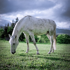 White Horse (M a r c O t t o l i n i) Tags: horse white color green 6x6 film zeiss square cheval switzerland countryside suisse kodak vert mf blanc couleur carré vaud hasselblad500cm portra160 macroplanar vuescan epsonv700 epsonperfectionv700 marcottolini macroplanar40120mm