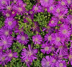Texturas (pedrographer) Tags: chile flores textura lilas d3000 floreslilas 1855f3556vr bordecosteroconcn afs18553556vr nikkorafs1855f3556vr