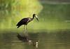 Openbill Stork, Anastomus lamelligerus, Msuna fishing camp, Zambezi River, Zimbabwe. Dec 12 (Jeremy Smith Photography) Tags: anastomuslamelligerus msunafishingcamp zambeziriver zimbabwe jeremysmithphotographycouk jeremysmithphotographycom openbill openbillstork copyrightjeremysmithphotography nikon jeremysmith jeremysmithuk jeremysmithzimbabwe jeremysmith007 jez smith jnsmithphotos jeremysmithphotography