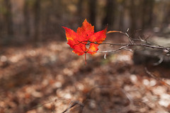 i come apart (zip po) Tags: autumn trees fall leaf newjersey maple woods