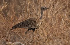 DSC_0001-1 (John.Walton) Tags: africa bird southafrica nikon wildlife sa d200 kruger redcrested sanparks korhaan redcrestedkorhaan southafricanationalparks