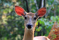Did you call lunch? (SamSpade...) Tags: portrait sunlight animals female nose eyes ears doe deer whiskers 548 specanimal citrit lizasenchantingphotogarden 277213aug