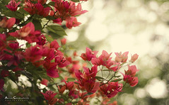 Flowers (Anish Chakraborty) Tags: flower botanicalgardens kolkta