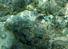 Convict Tangs and a female Pearl Wrasse (zodia81) Tags: ocean sea fish hawaii underwater snorkel oahu snorkeling northshore tropical seaurchin sharkscove
