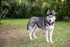 Athena (Gertrude139) Tags: trees blackandwhite dog green smile grass yard happy backyard husky pretty siberianhusky sibe bieyed