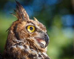 Owls_37 (kdc123) Tags: rescue black nature hawk wildlife south great nj run cedar owl jersey raptors owls tailed medford screech horned