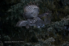 Great Gray Owl DSC_0330 (Ron Kube Photography) Tags: canada bird nature birds fauna nikon alberta owl greatgrayowl ornithology owls greatgray strixnebulosa southernalberta d7100 globalbirdtrekkers ronaldok nikond7100 ronkubephotography