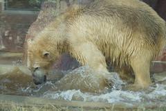 Dea the Polar Bear 2014-01-18 (kuromimi64) Tags: japan zoo tokyo polarbear  uenozoo   uenozoologicalgardens