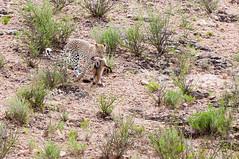 Leopard with kill (fascinationwildlife) Tags: africa park wild nature animal mammal kill desert wildlife south bat safari leopard fox predator südafrika hunt eared transfrontier kgalagadi raubtier