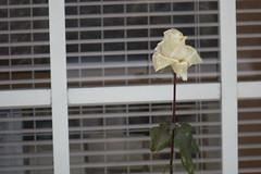 (ddsnet) Tags: plant flower rose japan sony cybershot  nippon  nihon   flower     naganoken   rx10   japan   flowerinjapan