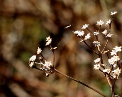 Dead Dried Stuff (Lin_Woods) Tags: white nature weed driedflowers whiteflowers