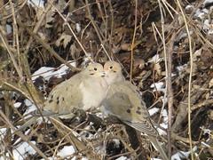 Mourning Dove by SpeedyJR (SpeedyJR) Tags: nature birds wildlife indiana explore mourningdove doves laportecountyin laportecountyindiana speedyjr ©2014janicerodriguez