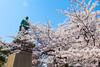 回憶迎春 Welcome Spring / Tokyo, Japan (yameme) Tags: travel flowers nature japan canon eos tokyo 日本 sakura cherryblossoms 東京 花 旅行 櫻花 chidorigafuchi 櫻 千鳥ケ淵 24105mmlis 5dmarkii 5d2 千代田區