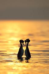Great Crested Grebes Weed Dancing at Sunset, Lake Garda (Daniel Trim) Tags: sunset italy lake bird silhouette dance weed garda display great crested grebe courting displaying podiceps cristatus