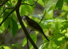 American Redstart, female (hickamorehackamore) Tags: ohio spring lakeerie may greatlakes oh oakharbor northwestohio 2013 mageemarsh blackswampbirdobservatory biggestweekinamericanbirding cranecreekwildlifearea