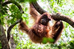 Orangutan 4817 (Ursula in Aus) Tags: animal sumatra indonesia unesco orangutan ape greatape bukitlawang gunungleusernationalpark earthasia