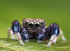 Jumping Spider (Aaron Baglietto) Tags: nature canon eos jumping spiders wildlife 5d alameda gibraltar markiii mpe65mm mt24ex aaronbaglietto