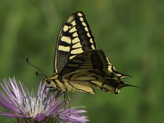 Borboleta cauda de andorinha (Papilio machaon) (Hugo Albuquerque) Tags: photosandcalendar theoriginalgoldseal flickrsportal infinitexposure