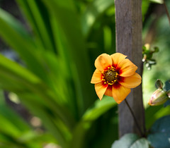 The perfection of nature (-Hoya-) Tags: orange plant flower art nature garden no filter perth perfection boanic