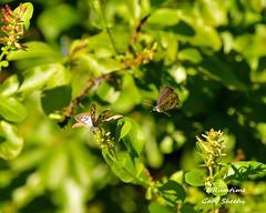 DSC_0064 (RUMTIME) Tags: blue nature butterfly fly flying flight queensland plumbago coochiemudlo