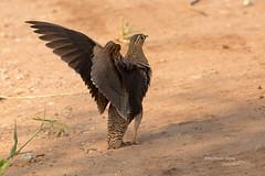 Black-faced-Sandgrouse-male_w_0367-2 (Daly Wildlife) Tags: africa tanzania sandgrouse groundbird blackfacedsandgrouse pteroclesdecoratus caomouflaged