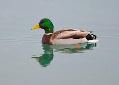 DSC_9542_edit (Hanzy2012) Tags: nikon d90 toronto tommythompsonpark lesliestreetspit sigma300mmf28exapodghsm teleconverter wildlife bird mallard duck nature wild ontario canada