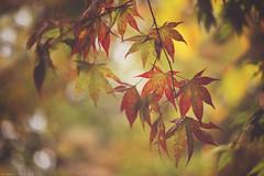 Remembrance (Tammy Schild) Tags: autumn red tree green fall nature leaves closeup season maple branch dof vivid japanesemaple