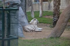 A White Tiger rests in his enclosure (oldandsolo) Tags: fauna zoo tiger uae abudhabi unitedarabemirates bigcats whitetiger carnivores bengaltiger zoologicalgardens pantheratigristigris royaltiger emiratesparkzoo samhaabudhabi