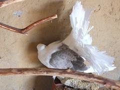 Fantail Pigeon (oldandsolo) Tags: fauna zoo uae abudhabi unitedarabemirates fantail columbidae zoologicalgardens fantailpigeon fancypigeon emiratesparkzoo samhaabudhabi