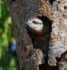 (Sarah-Vie) Tags: cuba img holguin 8636 fabuleuse oiseauxdecuba picboispoignardé