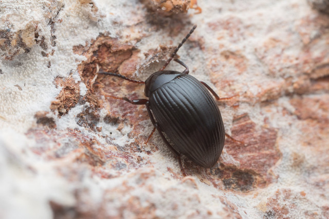 Amarygmus ovoideus (FAIRMAIRE, 1882). Tenebrionidae.